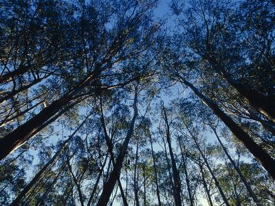 Sunlight Falling Through the Mountain Ash Eucalypt Forest Canopy, Alpine Nationals Park, Australia-Jason Edwards-Photographic Print