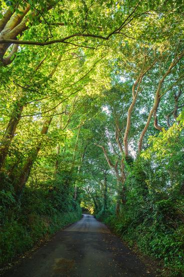 Sunlight Filters Through a Canopy of Branches over a Country Lane Near the Village of Winchelsea-Roff Smith-Photographic Print