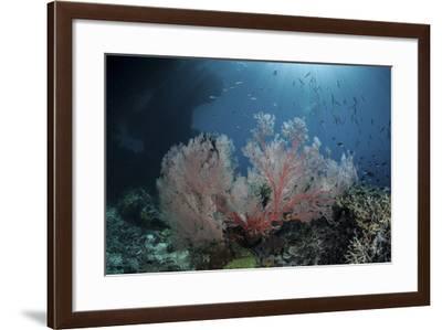 Sunlight Illuminates a Large Gorgonian Growing on a Reef in Raja Ampat-Stocktrek Images-Framed Photographic Print