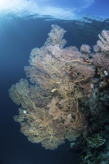 Sunlight Illuminates a Large Gorgonian Growing on a Reef in Raja Ampat-Stocktrek Images-Photographic Print
