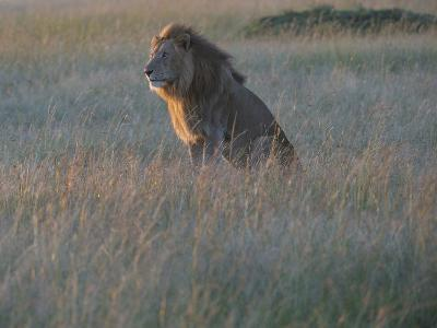 Sunlight On A Male Lion, Panthera Leo, Sitting In The Dry Grass-Andrew Coleman-Photographic Print
