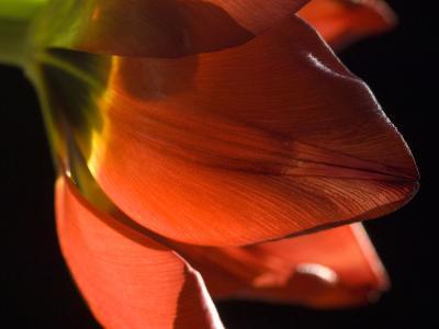 Sunlight on a Red Tulip Petal-Karen Kasmauski-Photographic Print