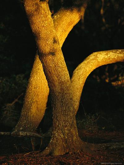 Sunlight on Live Oak Tree Trunks-Raymond Gehman-Photographic Print