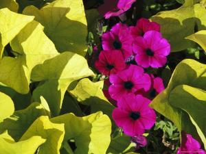Sunlight Shines on Petunia Flowers in a Planter from Milwaukees Historic Third Ward