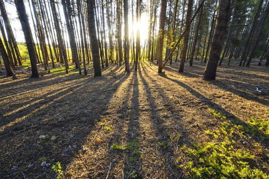 Sunlight Shining Through a Pine Forest-Keith Ladzinski-Photographic Print