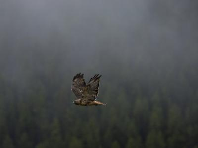Sunlight Strikes the Tail of a Red-Tailed Hawk in Flight-National Geographic Photographer-Photographic Print