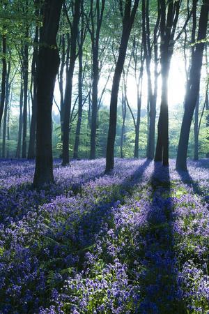 https://imgc.artprintimages.com/img/print/sunlight-through-treetrunks-in-bluebell-woods-micheldever-hampshire-england_u-l-q10wfo20.jpg?p=0