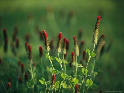 Sunlit Blooming Crimson Clover-Raymond Gehman-Photographic Print