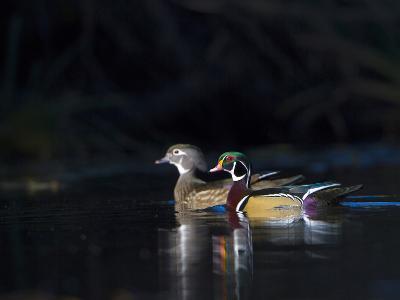 Sunlit Male and Female Wood Ducks (Aix Sponsa) in Breeding Plumage, Washington, USA-Gary Luhm-Photographic Print