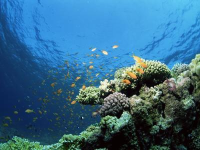 Sunlit Reef Top with Hard Corals and Anthias, Red Sea, Egypt, North Africa, Africa-Lousie Murray-Photographic Print