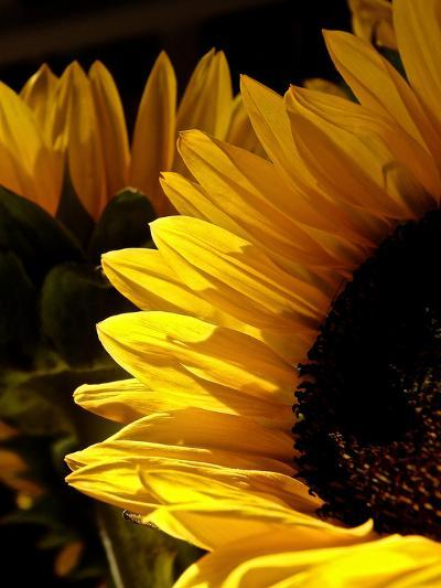 Sunlit Sunflowers I-Monika Burkhart-Photographic Print