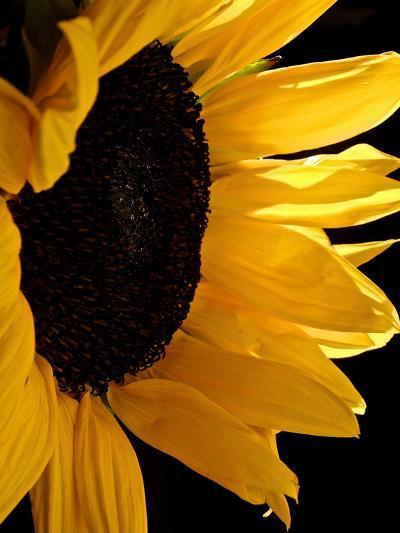 Sunlit Sunflowers II-Monika Burkhart-Photographic Print