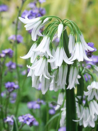 Allium Triquetrum, Close-up of White Flowers
