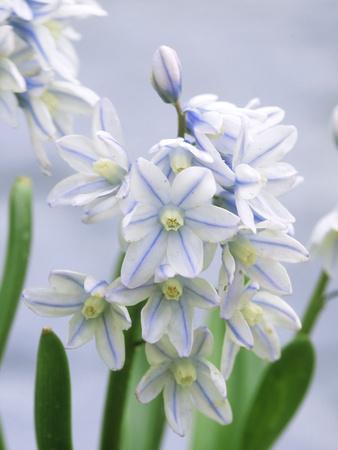 Scilla Mischtschenkoana, Pale Blue Flower