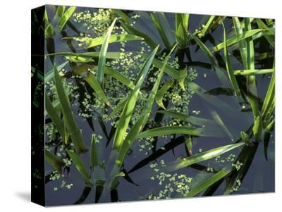 Stratiotes Aloides (Water Soldier) & Lemna Minor (Duckweed) in Water