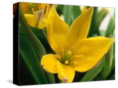 "Tulipa Linifolia ""Bright Gem"""