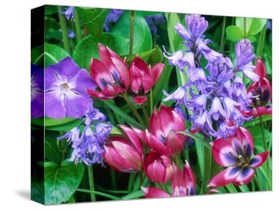 "Tulipa ""Little Beauty,"" Hyacinthoides Non-Scripta (Bluebell) Vinca Major (Periwinkle) Oak Gate"