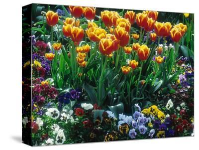 "Tulipa ""Little Beauty"" on White Background"
