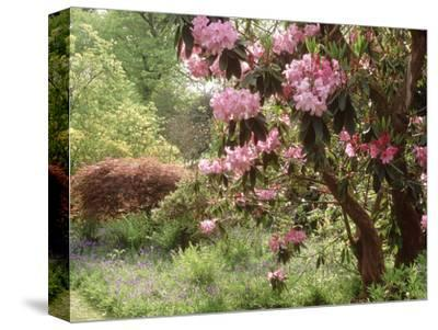Woodland Garden with Rhododendron, Acer, Hyacinthoides and Fern Selhurst