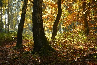 Sunny Mixed Forest in Autumn, Harz, Near Wernigerode, Saxony-Anhalt, Germany-Andreas Vitting-Photographic Print