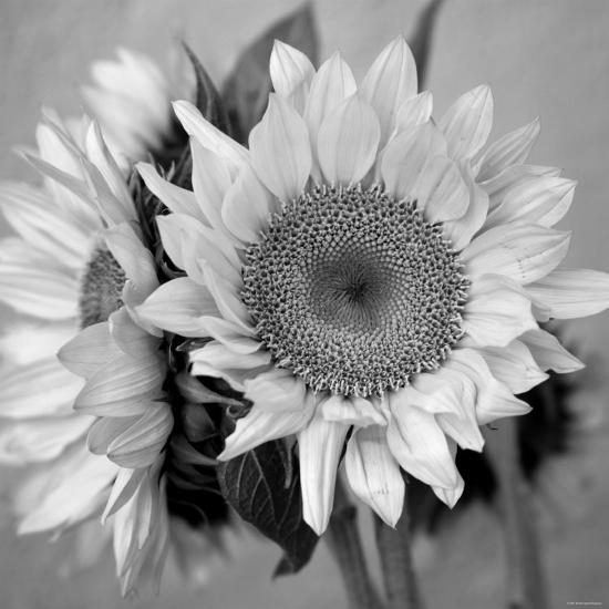 Sunny Sunflower I-Nicole Katano-Photo
