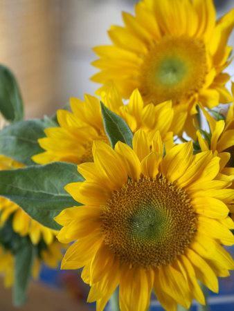https://imgc.artprintimages.com/img/print/sunny-sunflower-ii_u-l-p23fg50.jpg?p=0