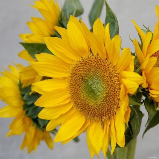 Sunny Sunflower IV-Nicole Katano-Photo