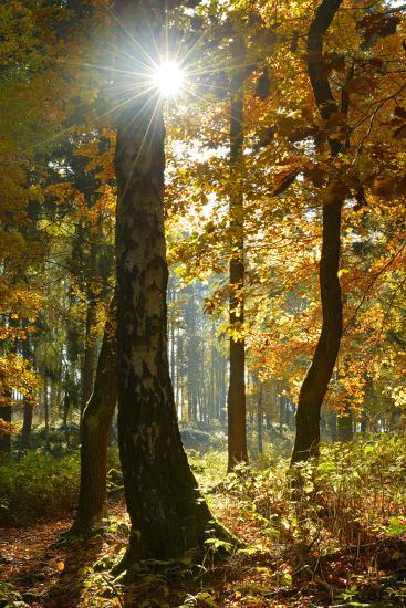 Sunrays in the Mixed Forest, Autumn, Harz, Near Wernigerode, Saxony-Anhalt, Germany-Andreas Vitting-Photographic Print
