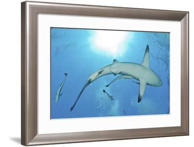 Sunrays Shining on an Oceanic Blacktip Shark with Remora-Stocktrek Images-Framed Photographic Print