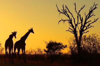 Sunrise in African Bush--Photographic Print