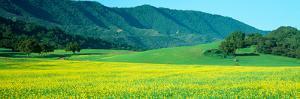 Sunrise, Mustard Fields, Upper Ojai, California