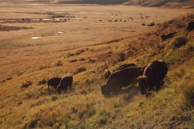 Sunrise on Bison (Bison Bison) Grazing on Hillside-Design Pics / David Ponton-Photographic Print