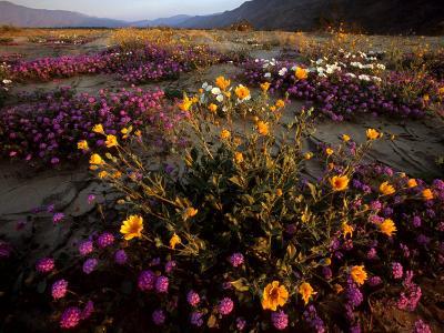Sunrise on Desert Wildflowers: Sunflowers, Primrose, Sand Verbena-Tim Laman-Photographic Print