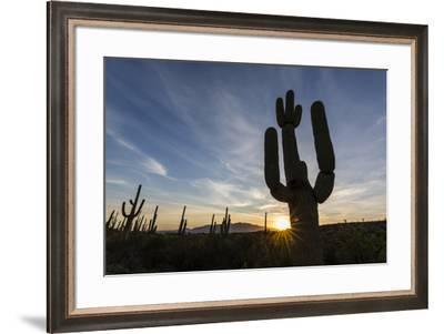 Sunrise on saguaro cactus in bloom (Carnegiea gigantea), Sweetwater Preserve, Tucson, Arizona, Unit-Michael Nolan-Framed Photographic Print