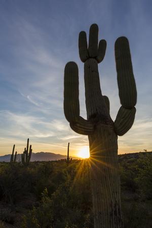 https://imgc.artprintimages.com/img/print/sunrise-on-saguaro-cactus-in-bloom-carnegiea-gigantea-sweetwater-preserve-tucson-arizona-unit_u-l-q1brc1e0.jpg?p=0