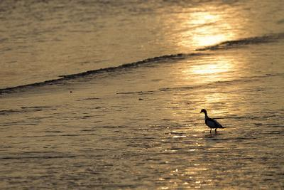 Sunrise over Coastal Mudflats with Shelduck Feeding, Campfield Marsh, Solway Firth, Cumbria, UK-Peter Cairns-Photographic Print