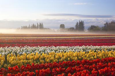 Sunrise over Tulip Field, Wooden Shoe Tulip Farm, Woodburn, Oregon-Craig Tuttle-Photographic Print