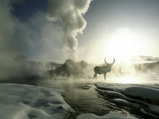 Sunrise Silhouette of Elk at Castle Geyser, Yellowstone National Park, Wyoming, USA-Jim Zuckerman-Photographic Print
