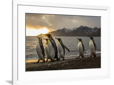 Sunrise with marching king penguins on the beach of St. Andrews Bay, South Georgia Islands.-Tom Norring-Framed Photographic Print