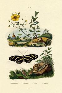Sunrose, 1833-39