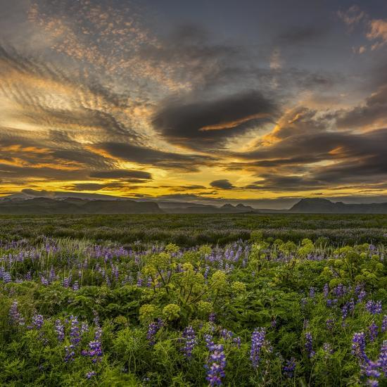 Sunset and Lupines, Myrdalssandur, South Coast, Iceland-Arctic-Images-Photographic Print