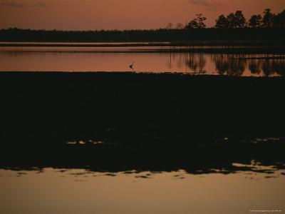 Sunset Behind Loblolly Pines on a Tidal Marsh with a Great Blue Heron-Raymond Gehman-Photographic Print