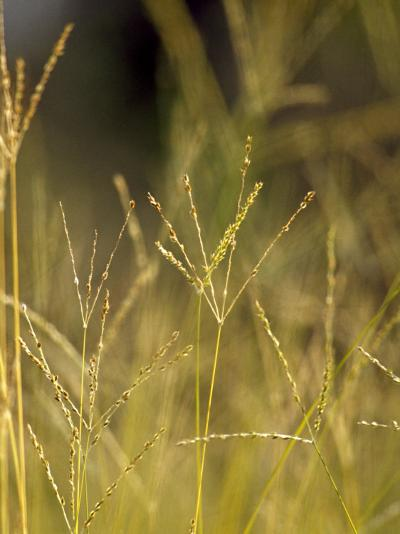 Sunset Catches the Seeding Heads of Wild Grasses in a Native Grassland-Jason Edwards-Photographic Print