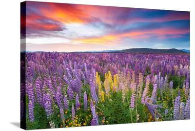 Sunset Is In The Flower Field--Stretched Canvas Print