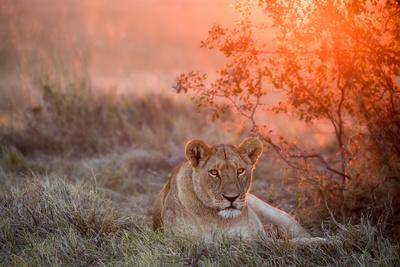 https://imgc.artprintimages.com/img/print/sunset-lioness_u-l-q1d933q0.jpg?p=0