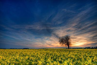 Sunset over a Field of Rapeseed, Near Risley in Derbyshire England UK-Tracey Whitefoot-Photographic Print