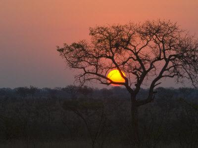 sunset over a mopani forest in kruger national park photographicsunset over a mopani forest in kruger national park paul sutherland photographic print