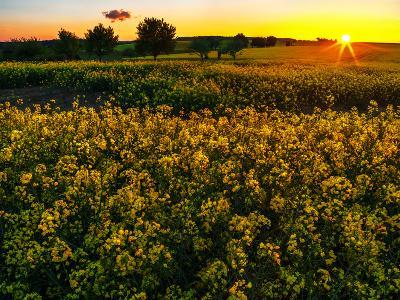 Sunset over a Rapeseed Flower Field-Babak Tafreshi-Photographic Print
