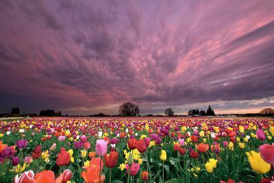 Sunset over Tulip Field-jpldesigns-Photographic Print