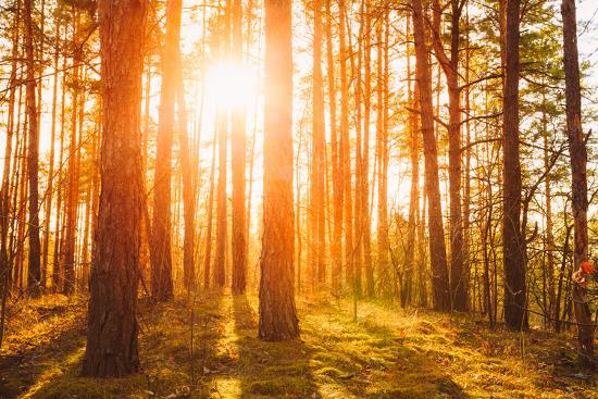 Sunset Sunrise in Atumn Coniferous Forest Trees. Nature Woods. HDR-Grisha Bruev-Photographic Print